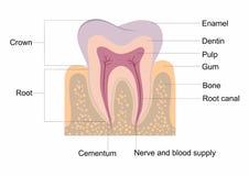 Anatomie de dent illustration de vecteur