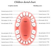 Anatomie de dents d'enfants Photographie stock libre de droits