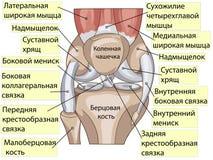 anatomie De gezamenlijke vector van de structuurknie royalty-vrije illustratie