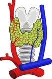 Anatomie de glande thyroïde Images libres de droits