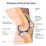Anatomie de l'articulation de genou Images stock
