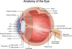 Anatomie de l'oeil Images libres de droits