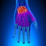 Anatomie de main et de poignet humains avec l'appareil circulatoire illustration stock