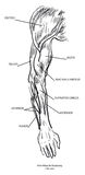 Anatomie de muscle de bras Photos stock