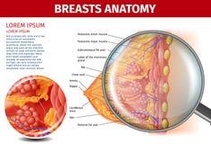 Anatomie de seins de femme Bannière en coupe d'aide illustration de vecteur
