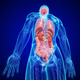 Anatomie de structure interne de corps humain Images stock