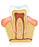 anatomie dentaire Photographie stock