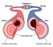 Anatomie der Blutgefäße Lizenzfreie Stockfotos