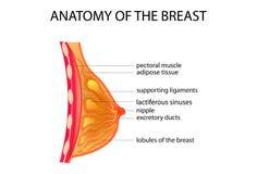 Anatomie der Brust vektor abbildung