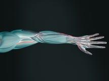 Anatomie des Armes Stockbild