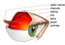 Anatomie des Auges stock abbildung