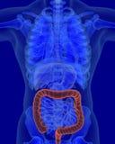 Anatomie des deux points humains avec les organes digestifs Images stock