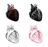 ventrikel stock illustrationen vektors klipart 1 954 stock illustrations. Black Bedroom Furniture Sets. Home Design Ideas
