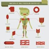 Anatomie des männlichen muskulösen Systems vektor abbildung