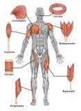 Anatomie des männlichen muskulösen Systems - hintere Ansicht O Lizenzfreies Stockbild