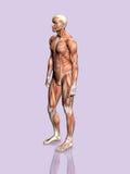 Anatomie des Mannes. stock abbildung
