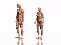 Anatomie des Mannes und der Frau. stock abbildung