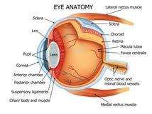 Anatomie des menschlichen Auges lizenzfreie stockbilder