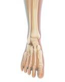 Anatomie des menschlichen Fußes Stockfotografie