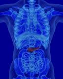 Anatomie des menschlichen Pankreas mit verdauungsfördernden Organen Lizenzfreie Stockbilder
