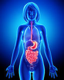 Anatomie des weiblichen Verdauungssystems Stockbilder