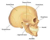 Anatomie-Diagramm eines Schädels Stockfotos