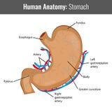 Anatomie détaillée d'estomac humain Vecteur médical Photographie stock