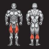 Anatomie du système, de l'exercice et du guide musculaires masculins de muscle Photos libres de droits