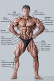 Anatomie du système musculaire mâle Image stock