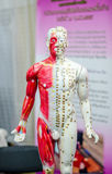 Anatomie du système musculaire mâle Images libres de droits