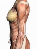 Anatomie einer Frau. stock abbildung