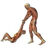Anatomie et soins de construction de muscle premiers Photographie stock