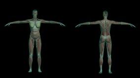 Anatomie femelle humaine avec les muscles et le squelette Photos libres de droits