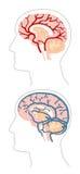 Anatomie - Hersenen 3 royalty-vrije illustratie