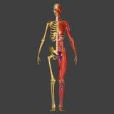 Anatomie humaine Photo libre de droits