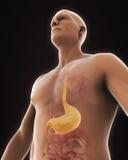 Anatomie humaine d'estomac Image stock