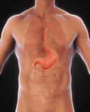 Anatomie humaine d'estomac Images libres de droits