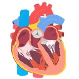 Anatomie humaine de coeur Photographie stock libre de droits