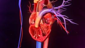 Anatomie humaine de coeur photos libres de droits