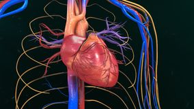 Anatomie humaine de coeur image libre de droits