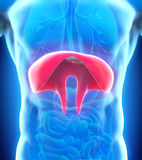 Anatomie humaine de diaphragme Photographie stock
