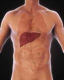 Anatomie humaine de foie Image stock