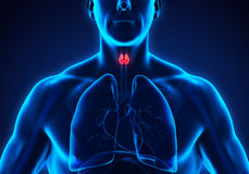 Anatomie humaine de glande thyroïde illustration stock