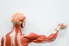 Anatomie humaine de muscle Images libres de droits
