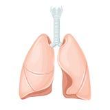 Anatomie humaine de poumons illustration de vecteur