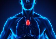 Anatomie humaine de thymus illustration de vecteur