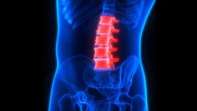 Anatomie humaine de vertèbres lombaires de colonne vertébrale de système cadre illustration de vecteur