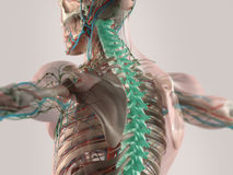 Anatomie humaine illustrée Photos stock