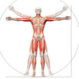 Anatomie humaine montrée en tant qu'homme vitruvian Image libre de droits