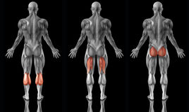 Anatomie humaine musculaire Image stock